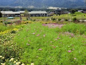 コスモス・花公園%20029